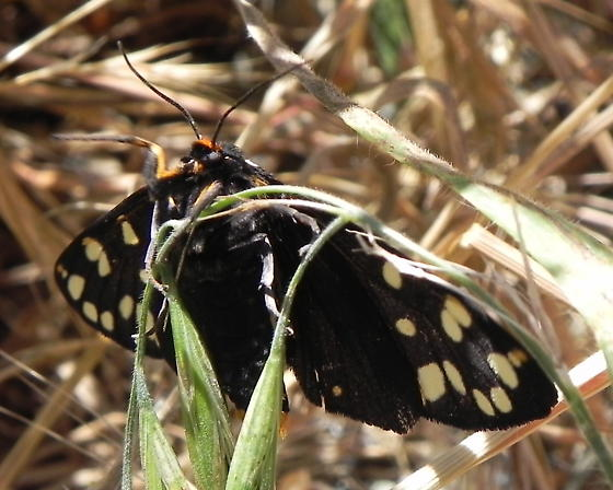 Ranchman's Tiger Moth - Arctia virginalis