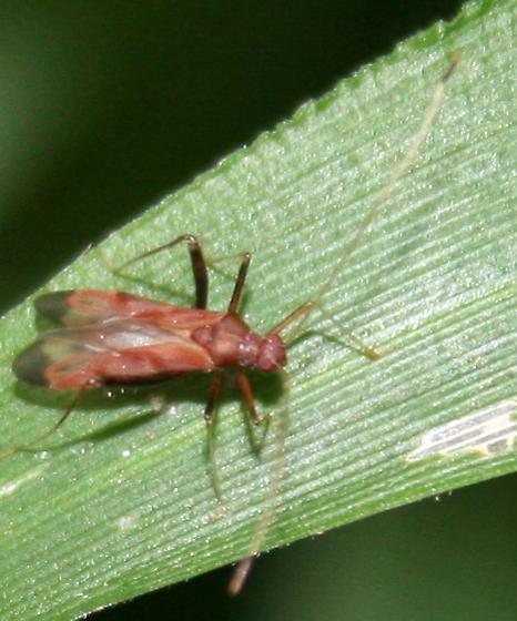 Bug ID Request - Paraxenetus guttulatus
