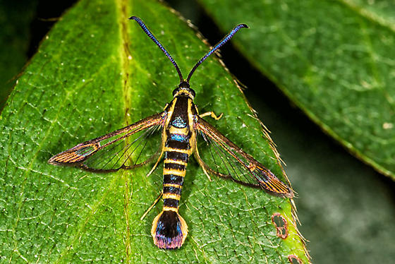 Riley's Clearwing Moth? - Synanthedon arkansasensis