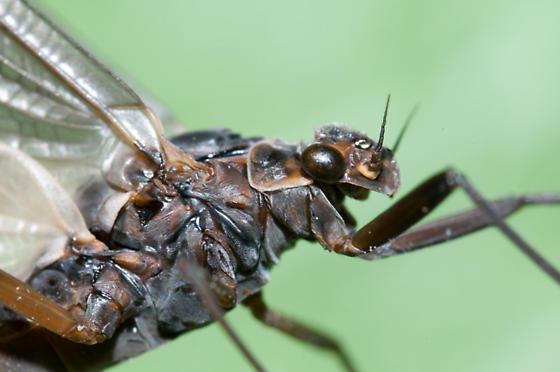 Blackish Mayfly - Leptophlebia cupida