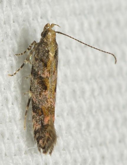 Brown and pink moth - Aristotelia rubidella