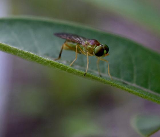 Fly - Ptecticus trivittatus