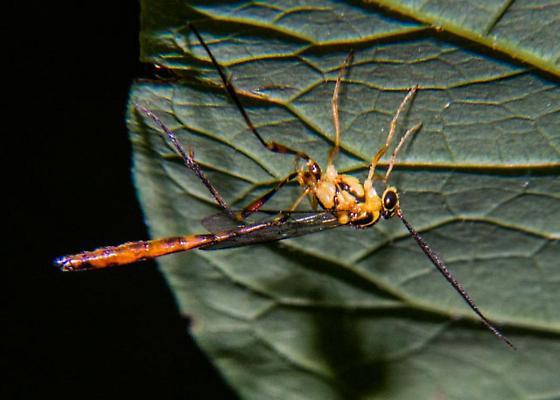 Wasp, maybe Ichneumon? - Eiphosoma