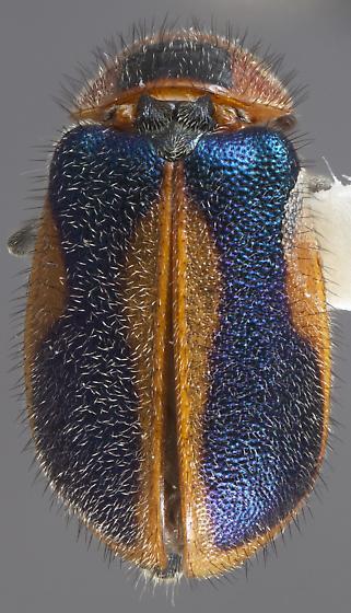 Collops marginellus - female