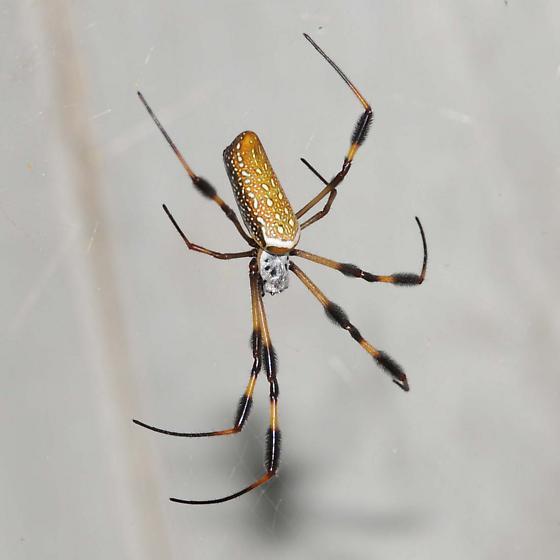 Nephila clavipes Golden Silk Orbweaver - Nephila clavipes