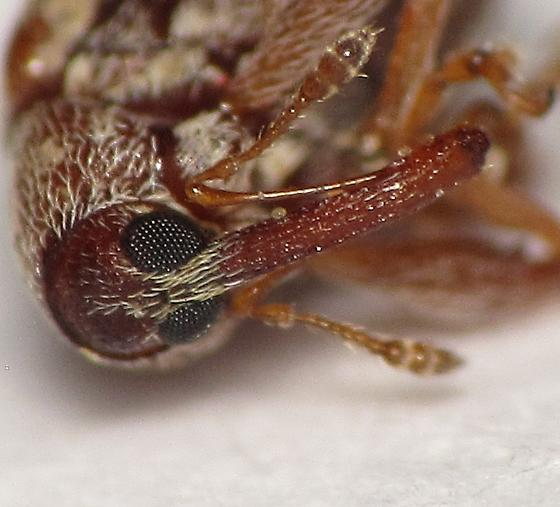 Anthonomus? - Anthonomus rubidus