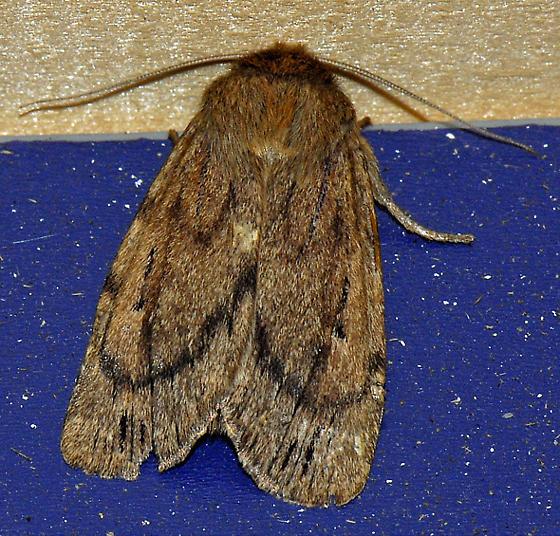 Moth---ID - Ufeus satyricus