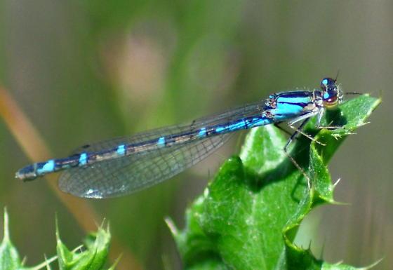 Northern Bluet- blue female - Enallagma annexum - female