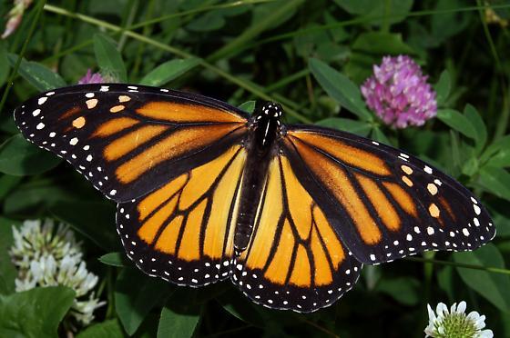 Monarch For Illinois In May - Danaus plexippus - female