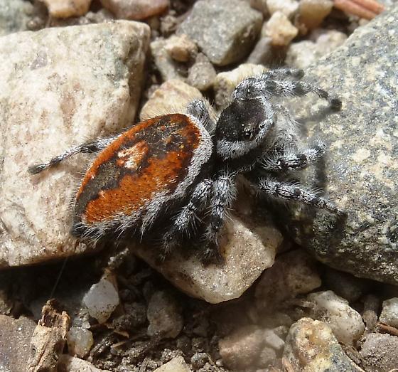 Jumping spider - Phidippus tyrrellii