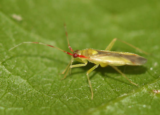 red and green mirid - Campyloneura virgula