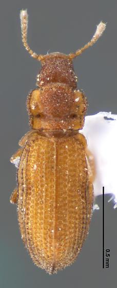 Dienerella costulata (Reitter) - Dienerella costulata