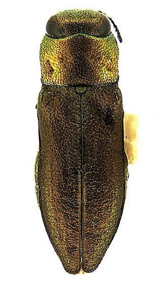 Anthaxia (Haplanthaxia) carya Wellso & Jackman - Anthaxia carya - female