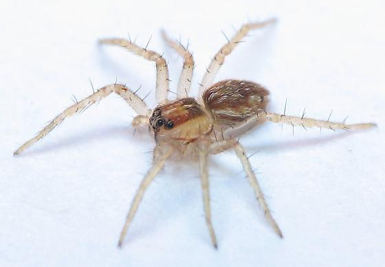 Young Wolf Spider - Hogna? - Dolomedes
