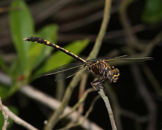 Belle's Sanddragon - Progomphus bellei - Progomphus bellei - male
