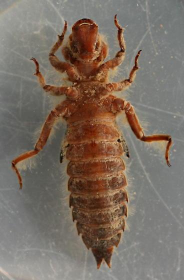 Ophiogomphus occidentis naiad - voucher specimen, in alcohol - Ophiogomphus occidentis