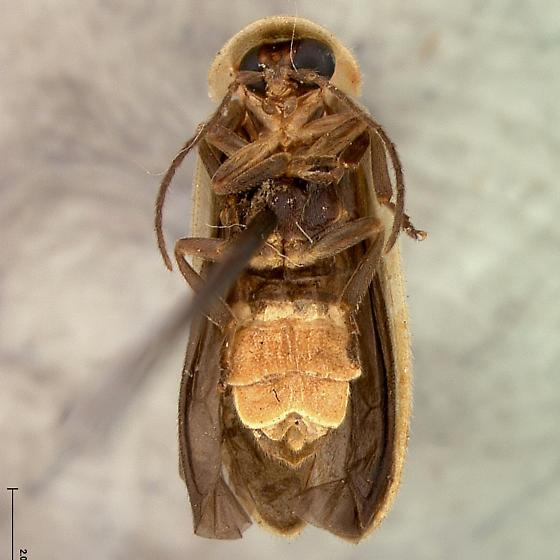 Photinus immaculatus Green - Photinus immaculatus - male