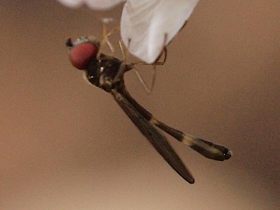 Fly, toothwort 1 - Baccha elongata
