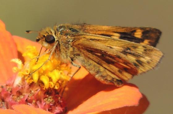 Skipper sp.2 - Hylephila phyleus - female
