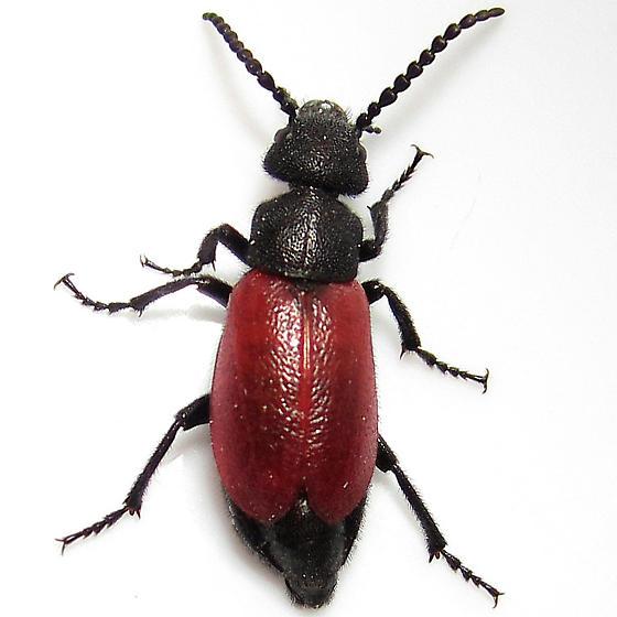 Tricrania sanguinipennis - male