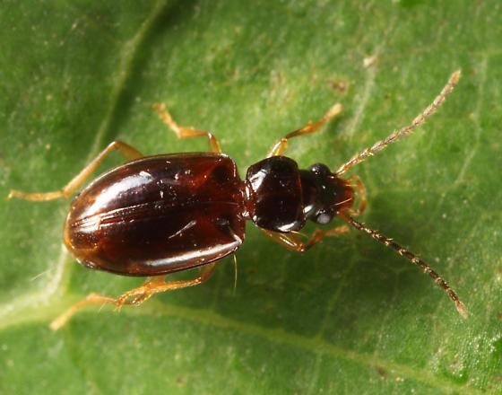 Carabid - Tachys oblitus