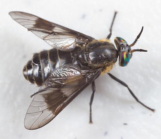 Deer Fly - female