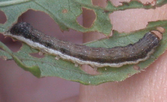 Fringed loosestrife caterpillar - Crocigrapha normani