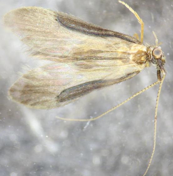 Lepidostoma pluviale ♂  - Lepidostoma - male