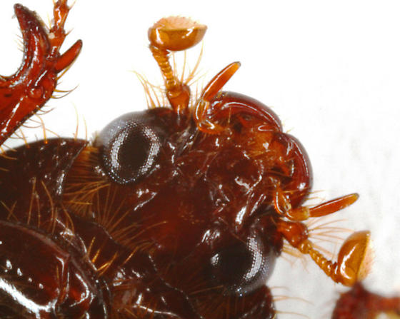 Small black beetle - Hybosorus illigeri