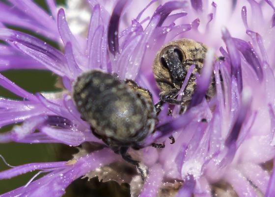weevils - Larinus obtusus