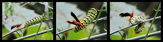 Red wasp attacking black swallowtail caterpillar? - Trogus pennator