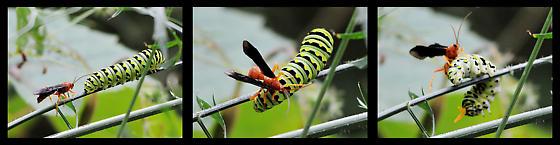 Red wasp attacking black swallowtail caterpillar? - Trogus pennator