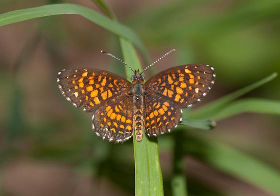 Elada Checkerspot - Microtia elada - male