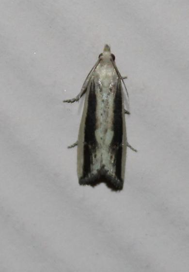 Unknown moth - Bactra maiorina