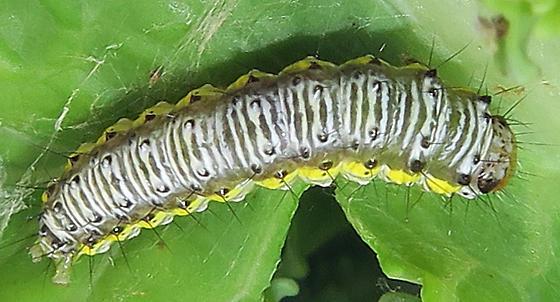 Cross-striped Cabbageworm caterpillar - Evergestis rimosalis