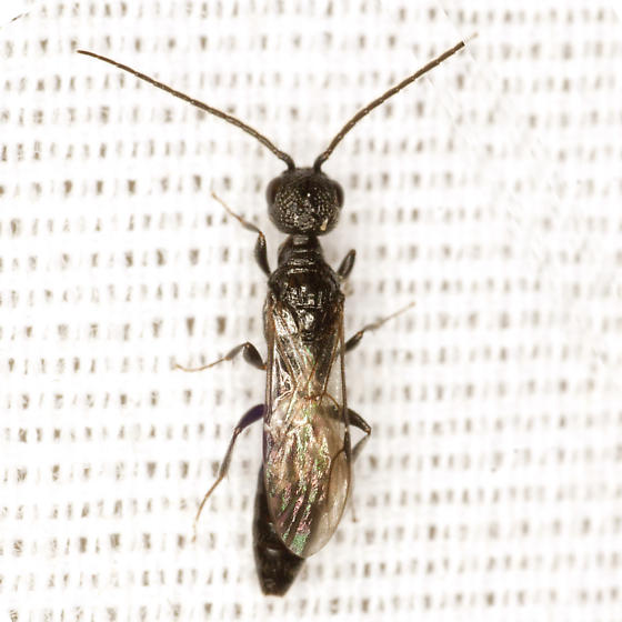 Black Wasp - Pristocera - male