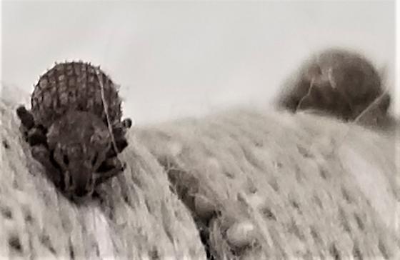 Curtain bug - Romualdius scaber