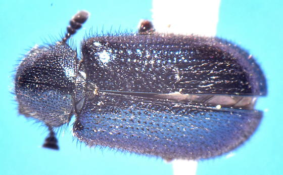 Blue hairy chrysomelid - Necrobia violacea