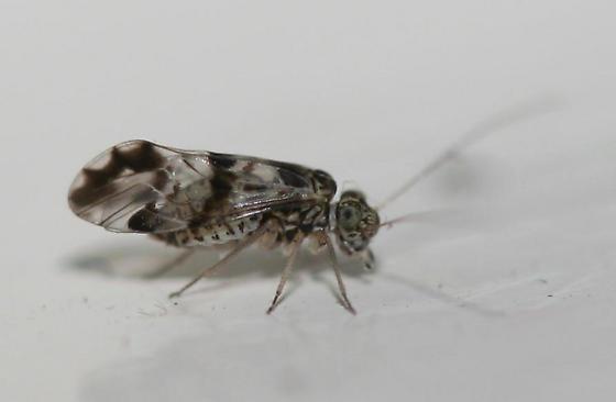 Psocoptera - Ptycta polluta