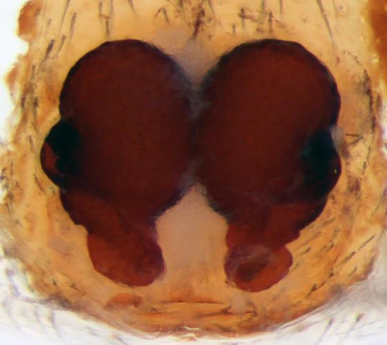 C. dorsata - dorsal epigynum - Castianeira dorsata - female