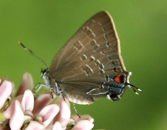 Small Butterfly - Satyrium caryaevorus