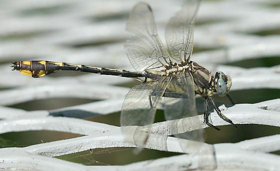 dragonfly - Gomphurus externus