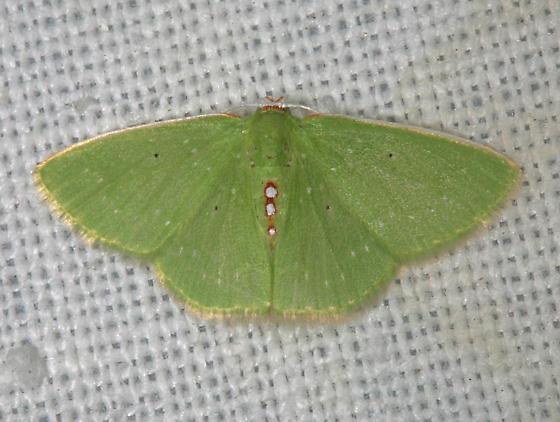 Synchlora herbaria sanctaecrucis - The Virgin Islands Emerald Moth - Synchlora herbaria