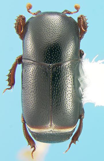 Histerid - Teretrius latebricola
