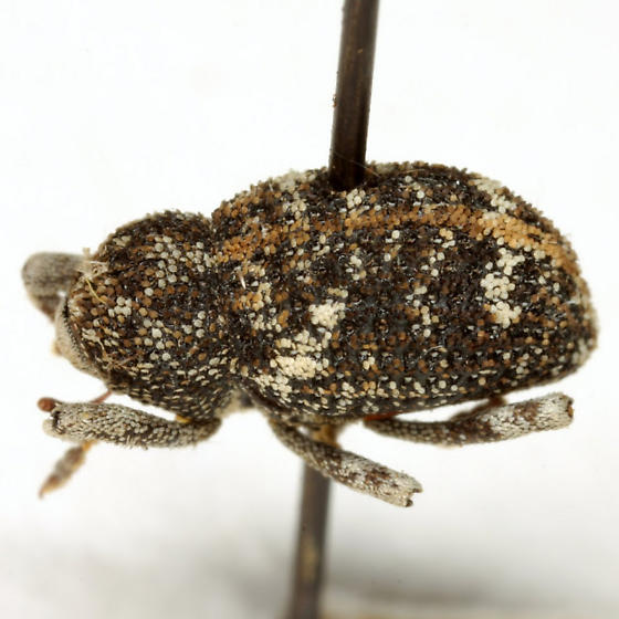 Gerstaeckeria knullorum (Sleeper) - Gerstaeckeria knullorum