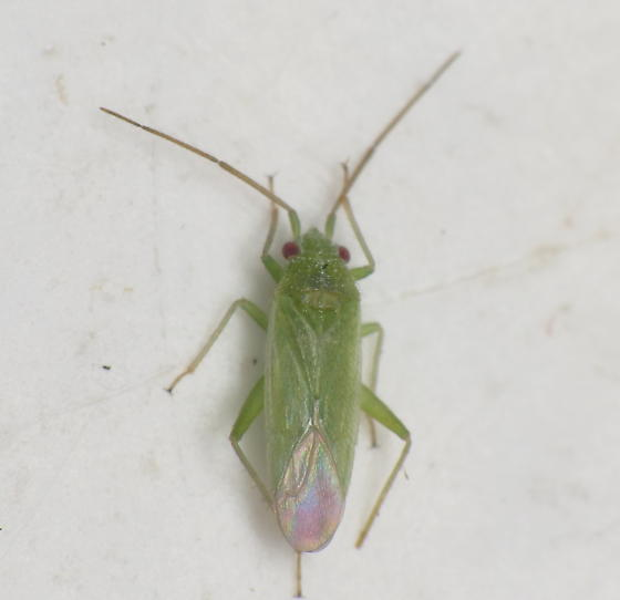 Mirid - Labopidea cepula