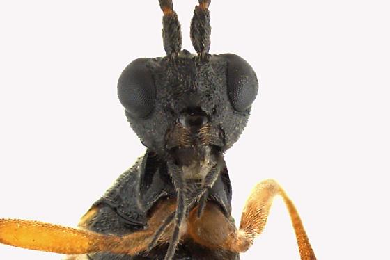 Braconid Wasp - Aleiodes terminalis - female