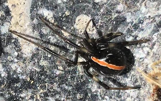 Looks related to a black widow - Latrodectus hesperus