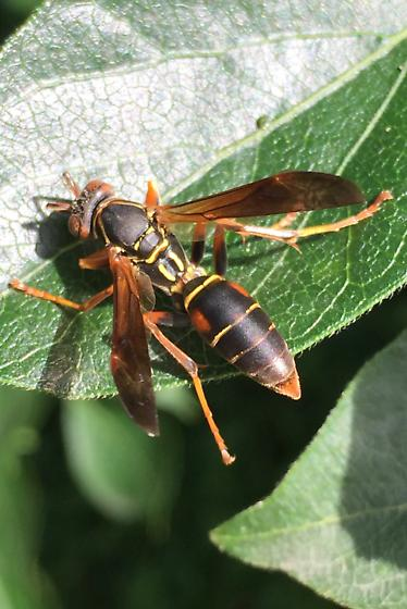 Wasp w/ red dots  - Polistes fuscatus
