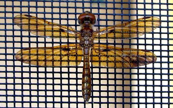 Small Dragonfly - Perithemis tenera